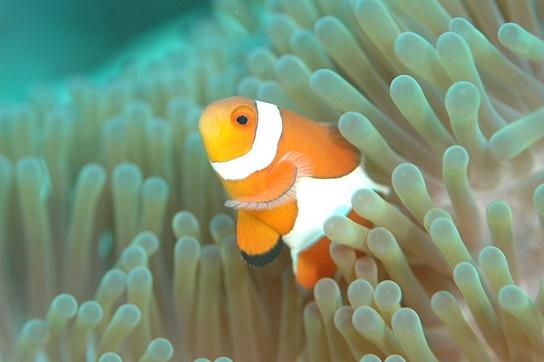 body_clownfish