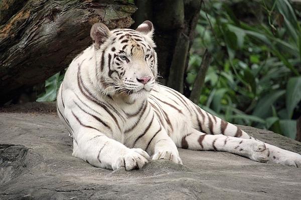 white-tiger-1513723_640